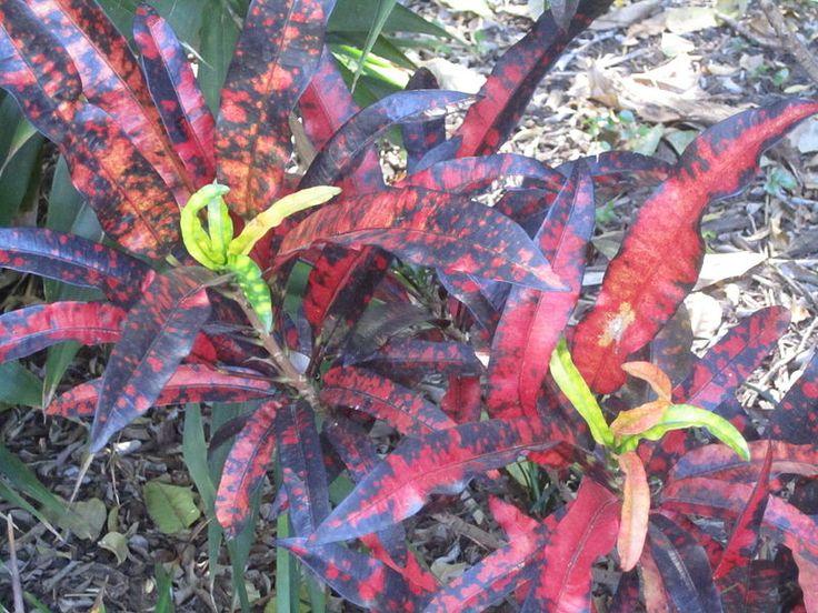 e1967803c05e7caf1478257b97c55b53 House Plant Leaves Colored Striped on gourds plants, lavender plants, ground cover plants, flowers plants, green plants, types of croton plants, leafy patio plants,