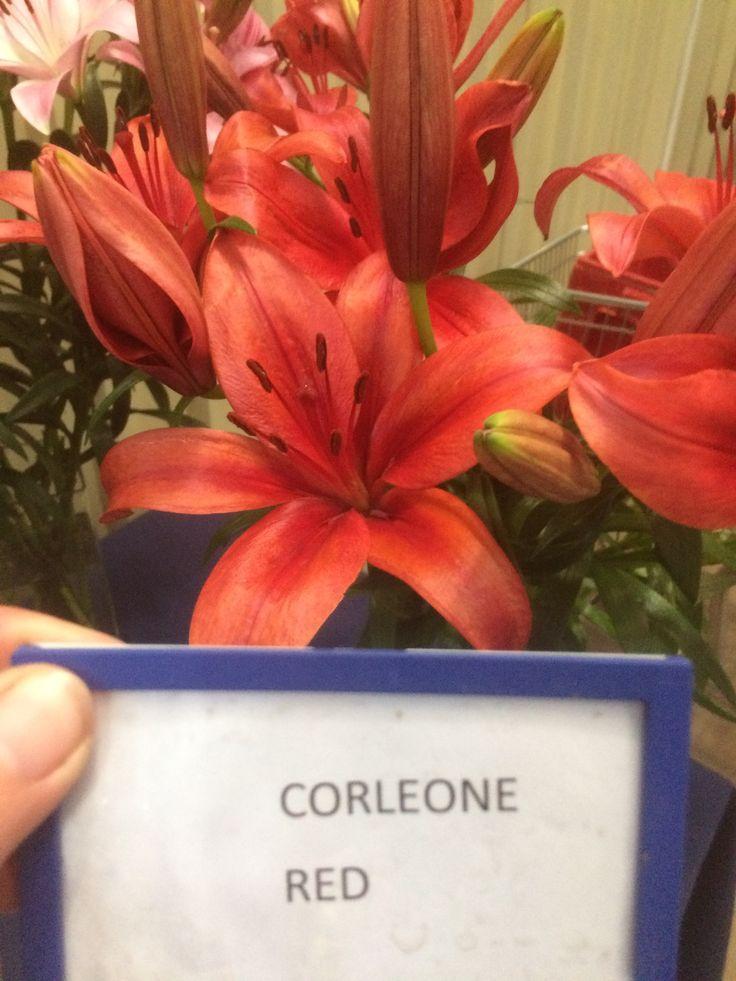 Corleone red Asiflorum