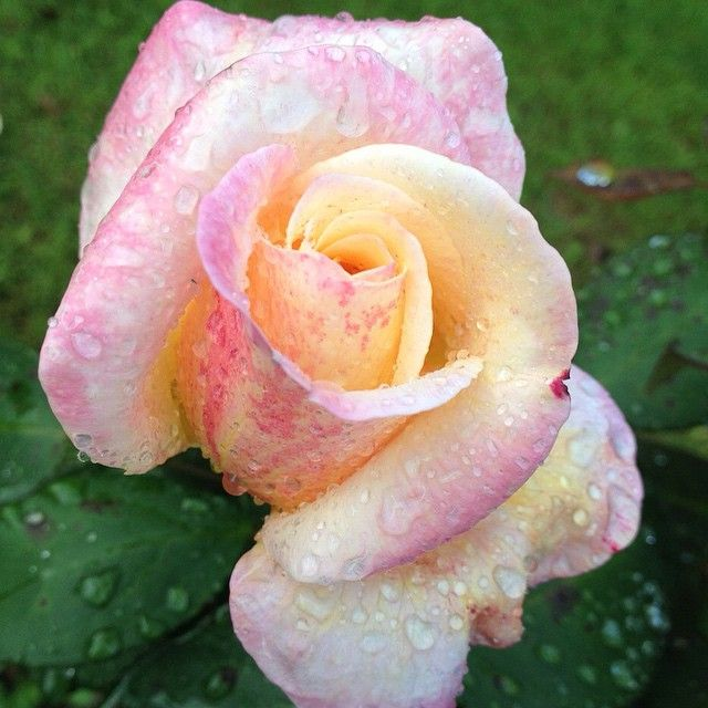 #imagine #beauty #flower #rose #nature #joy #blossom