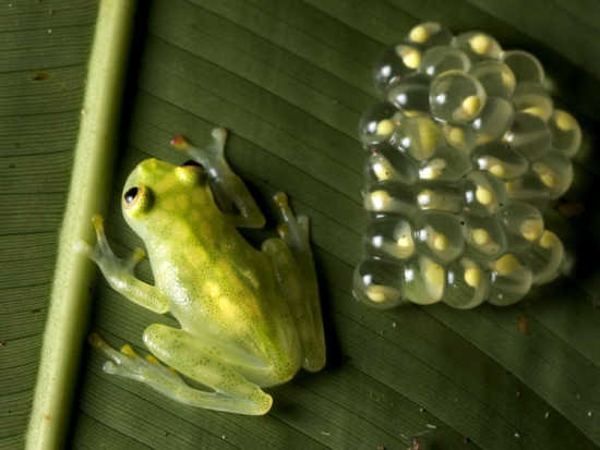 of frogs and eggs - photo #25