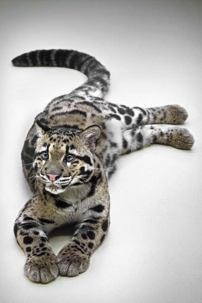 Nine month-old Clouded leopard named Ganda on her last day at the Neonatal Assisted Care Unit at the San Diego Zoo