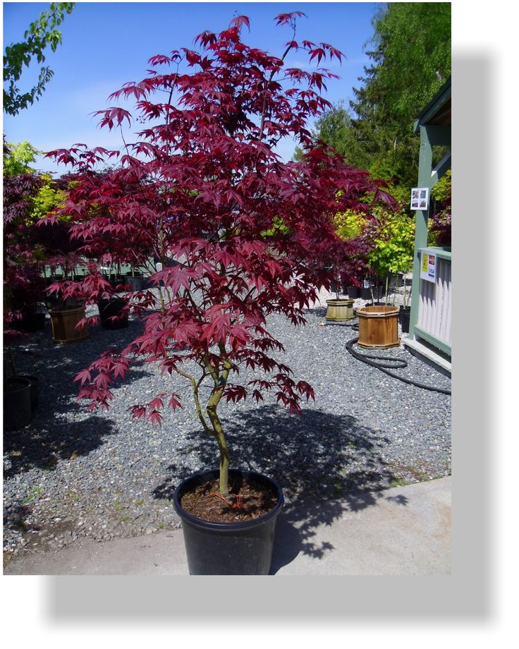 Gorgeous Japanese Maple Bloodgood For Home Landscaping Ideas: Cute Japanese Maple Bloodgood On Black Pot For Garden Decoration Ideas