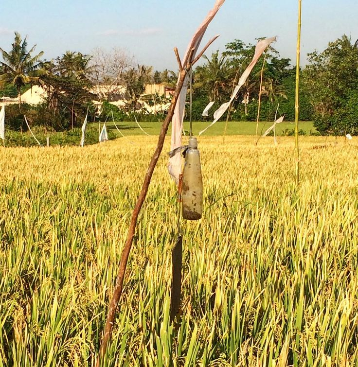 The rice is almost ready to be harvested. The photo yesterday showed a beautiful, emerald green. Today's photo show golden yellow rice. Beautiful nasi