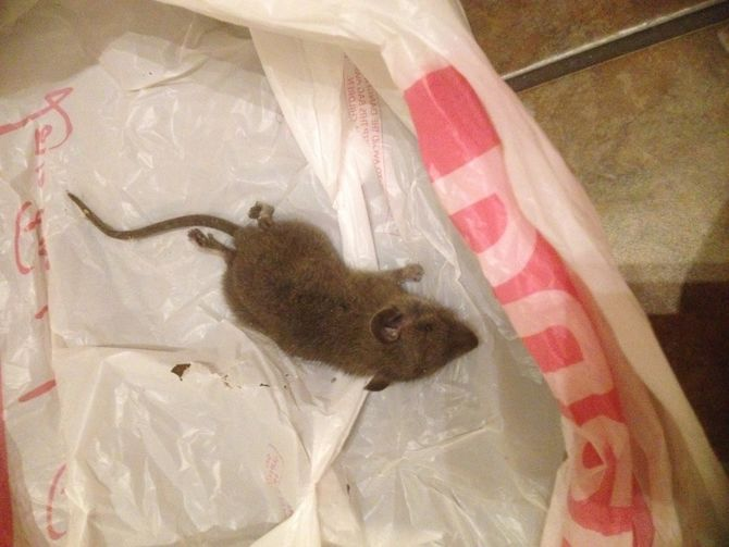 how to get rid of mice or rats