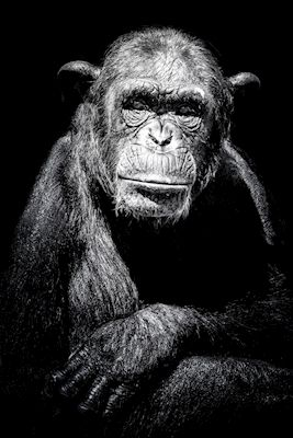 Satisfied male chimpanzee in the night. Available as poster at printler.com, the marketplace for photo art. Photographer Anders Howerdal.