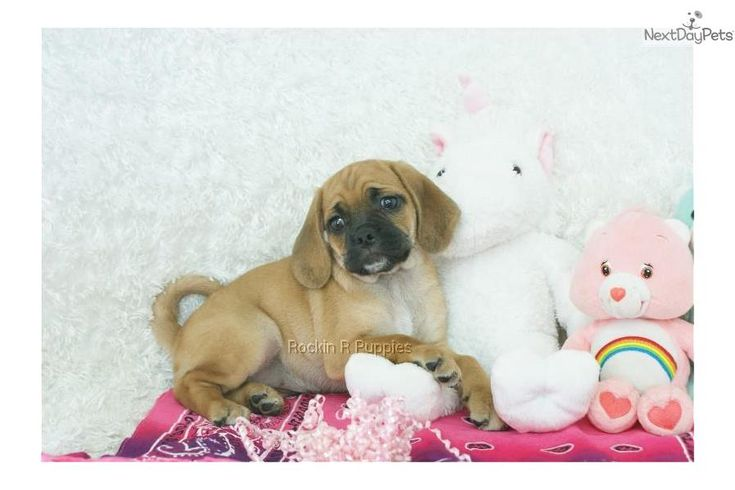 Meet Juliet a cute Puggle puppy for sale for $725. Juliet, Sweet Puggle, Shipping Included