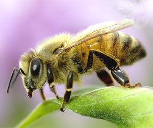 Bees:  New project aims to upload a #honey #bee's brain into a flying insectobot by 2015.