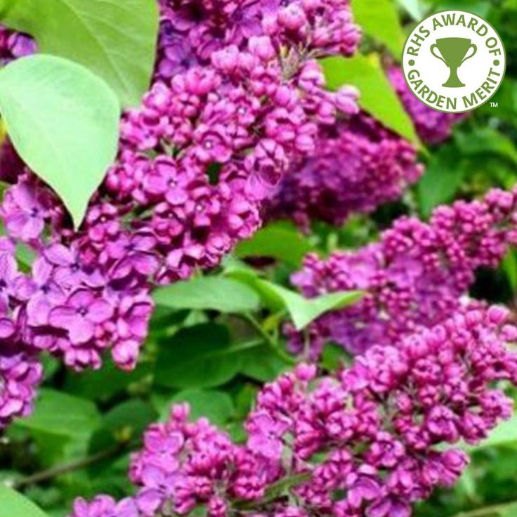 When planting lilac trees, such as Syringa Vulgaris Charles Joly Tree, it is important to prepare the planting area well. Description from ornamental-trees.co.uk. I searched for this on bing.com/images