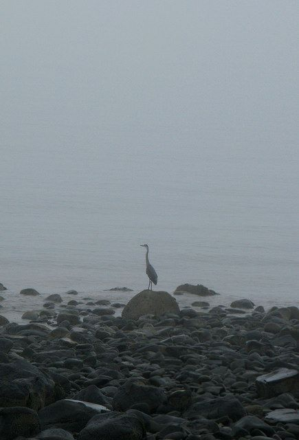 blue heron on bay of fundy ns