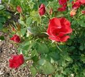 phelps grove park rose garden springfield mo