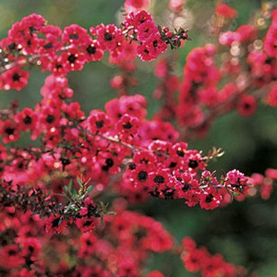 Tea tree (Leptospermum), an unthirsty small tree that's native to Australia and New Zealand.