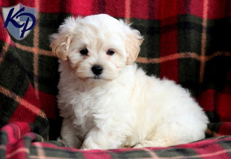 Fisher Maltipoo Puppies for Sale in PA Keystone