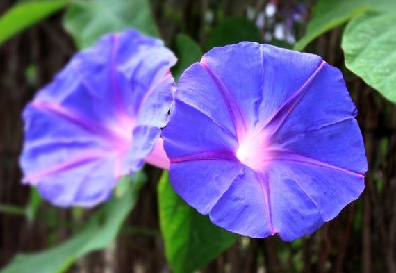 Blue Dawn Flower 15 Seeds Tropical Foliage Morning Glory Etsy Purple Plants Planting Bulbs Summer Flowering Bulbs