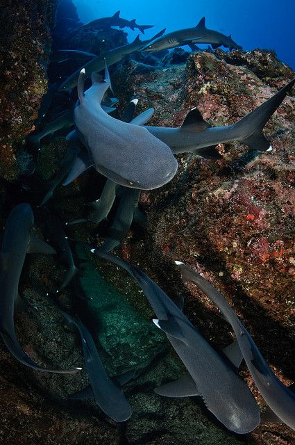 Isla del Coco - Whitetip Sharks by Bigeye Bubblefish [  Addict  ], via Flickr