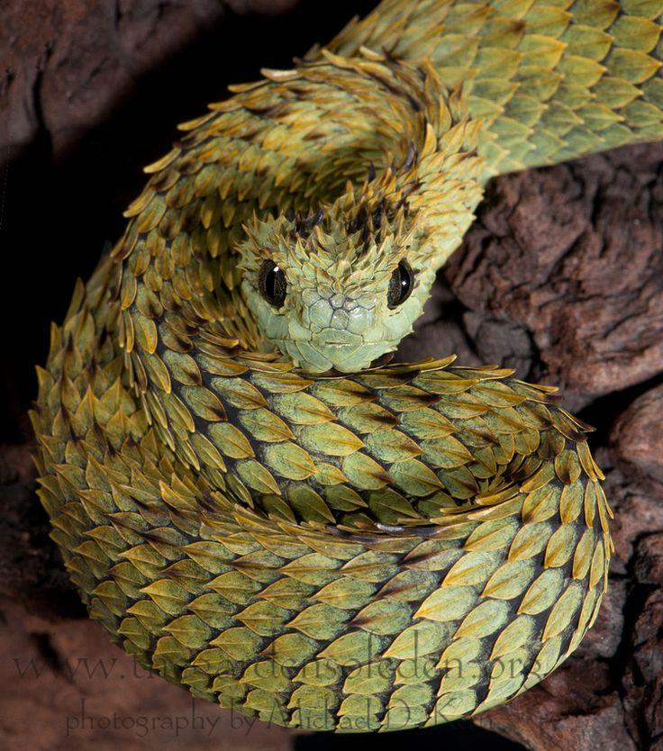 Hairy Bush Viper The Gardens of Eden   DTS Herps 2012