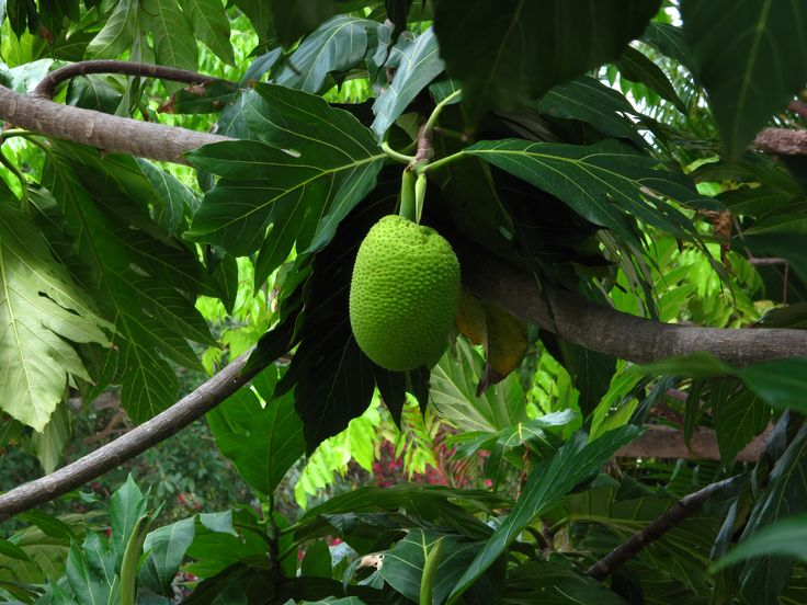 Green Fruit Tree Identification Part - 34: Tree Wallpapers For Mac Free