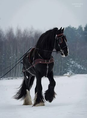 Shire black stallion in harness in the snow.