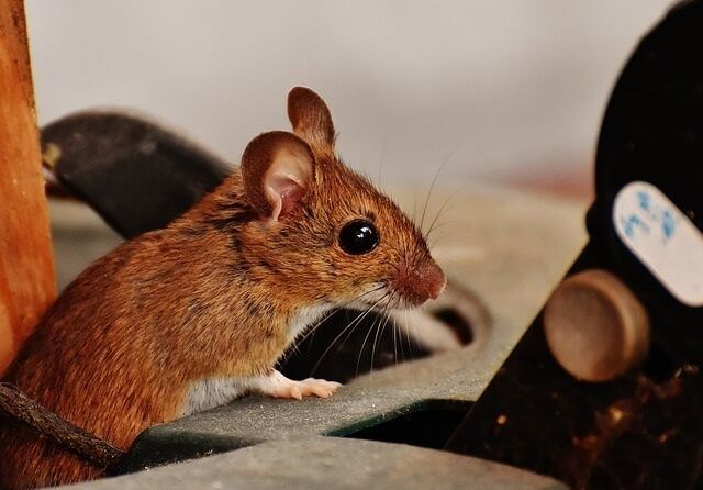 How To Get Rid Of Mice In House Uk