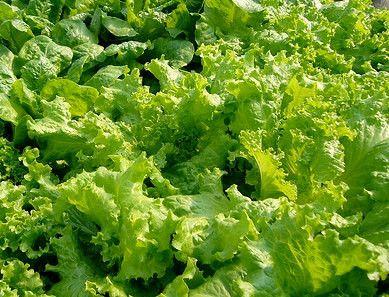 Lettuce,Grand Rapids Lettuce , Fresh Heirloom Organic Vegetable Seeds (45-55 days to harvest )