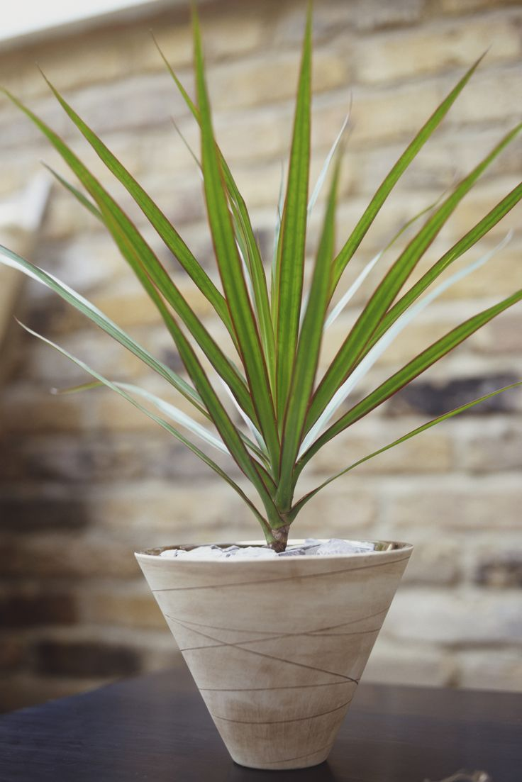A houseplant I want to avoid: Dragon Tree Save some room on your windowsill and tuck this low-light variety in an unloved corner. Just be warned: Dracaena marginata is toxic to both dogs and cats, so keep pets far away. GETTY