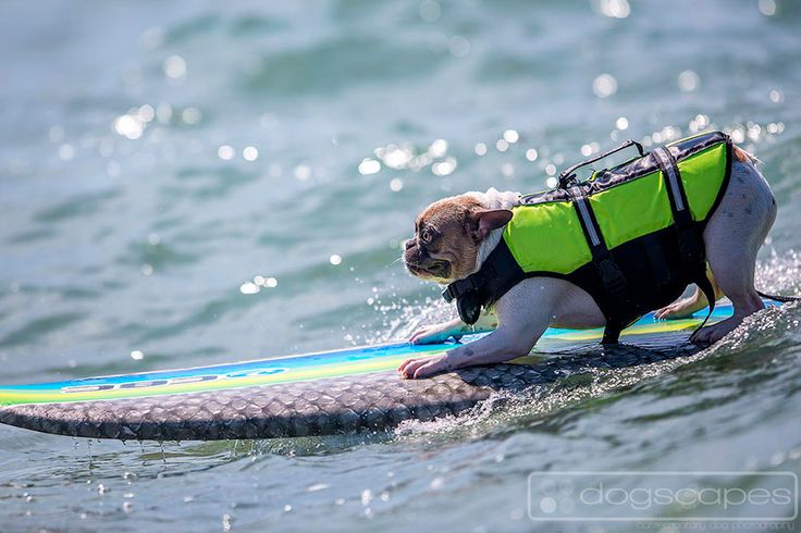Cherie the frenchie is all concentration at her surfing lesson preparing for the Surf Dog Surf-A-Thon! Del Mar Dog Beach, San Diego :: dogscapes.com modern dog photography #french #bulldog
