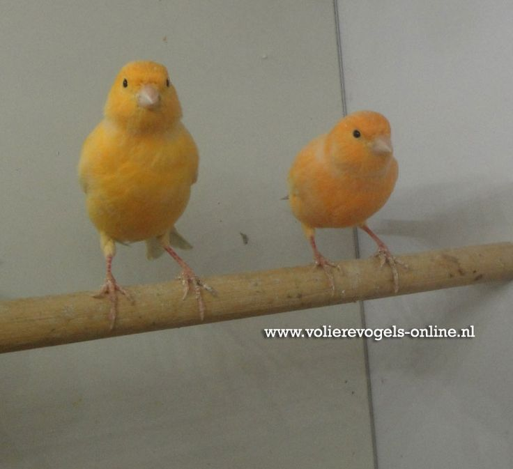 Kanarie - Canari www.volierevogels-online.nl