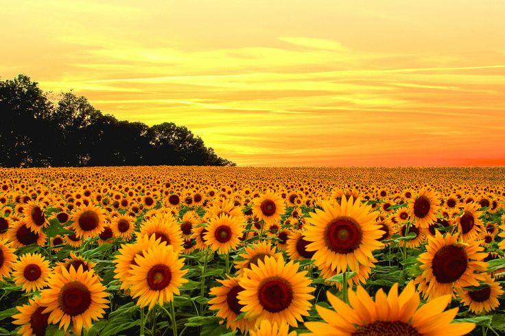Sunflower Fields by Rajan Kannan