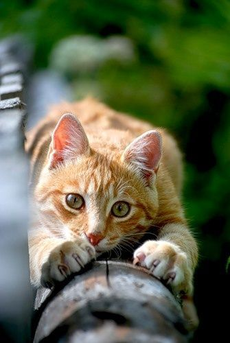 orange tabby cat ...I love Orange cats