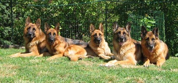 Qual è il miglior cane da guardia?