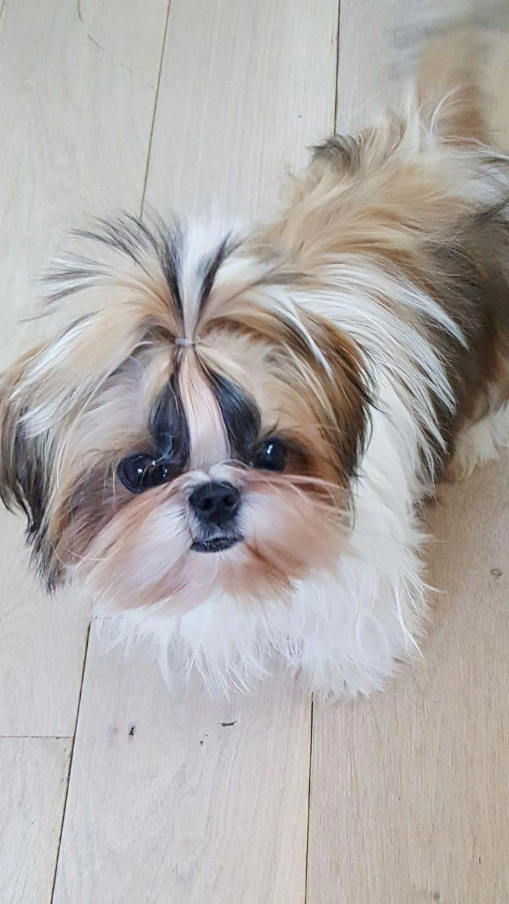 Energetic Shih Tzu Puppy Personality Shihtzuoftheday