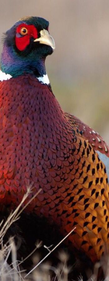 Ring-necked Pheasent