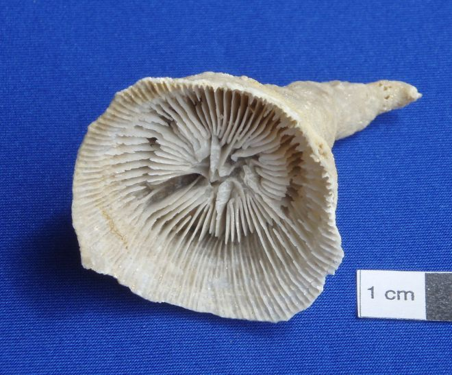 Middle Devonian horn coral Enallophrentis inflata