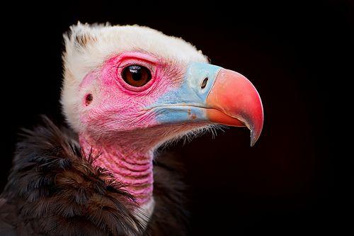 Portrait of a colorful vulture (di Tambako the Jaguar)    (via gotham-cityburns)