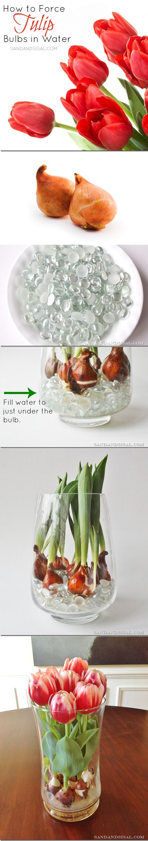 ❧ How to Force Tulip Bulbs in Water