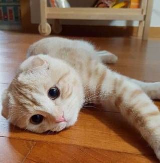 Scottish Fold kitten Cats & Kittens Gumtree Australia