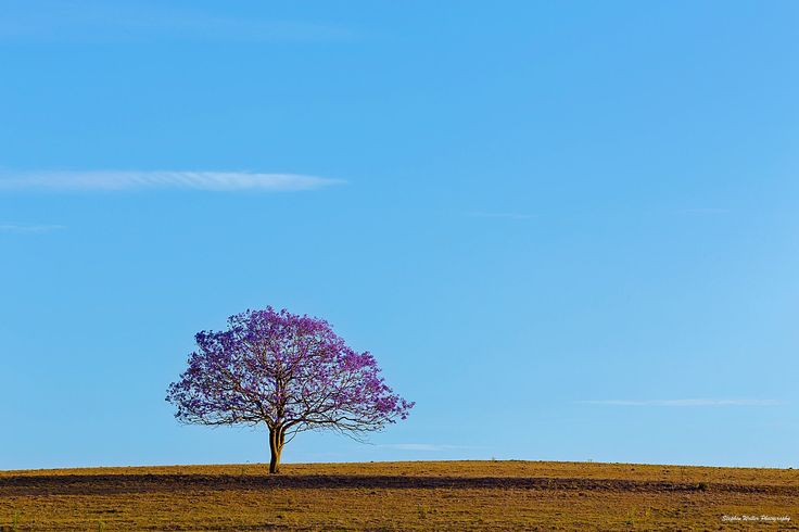 A lone Jacaranda Tree on a hill bathed in the afternoon sun. Near Roadvale, Queensland Australia. Stephen Waller Photography