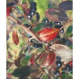 6.08-Gallon White Chokeberry Foundation/Hedge Shrub (L10461) Nursery