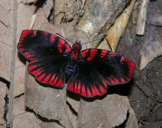 Blood red skipper