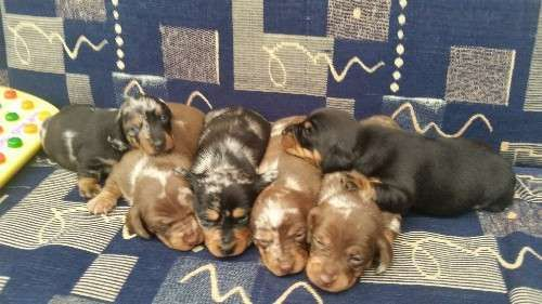 Purebred miniature dachshund puppies for sale.  Ist vaccination wormed microchipped.  No pedigree papers.   Can assist / arrange aus wide flights  2 x chocolate dapple boys $2000  1 silver dapple boy $2000  1 black and tan girl $2000  1 silver dapple girl $2500  1 chocolate dapple girl $2500  Please text or ring 0417817709. No emails as I've put this advertising on for a friend.   Bathurst pick up.   Ready 16 may 2017.  $300  non ref...