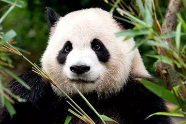 Oso panda 8.png