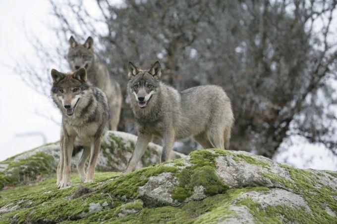 ¿Dónde podemos ver lobos en España?