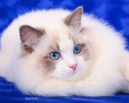 Purebred Adult Male Ragdoll Cats For Sale | Riterags Ragdolls