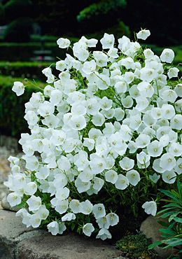 """White Clips Bell Flower - gorgeous, their slight translucencyWhite Clips is the white version of the famous Blue Clips; they make a great display together. 8 to 12 inches tall. (Campanula carpatica Zones: 3, 4, 5, 6, 7, 8, 9 Plant Size: 8-10"""" tall, Up to 18"""" wide Light: Full Sun, Mostly Sunny, Half Sun / Half Shade Bloom Time: Early to late summer"""