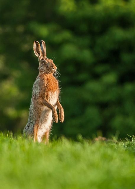 Curious brown hare | Flickr - Photo Sharing!