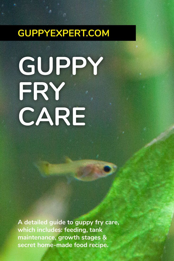 Guppy Fry Care How To Care For Baby Guppies Guppy Guppy Fish Fish Care