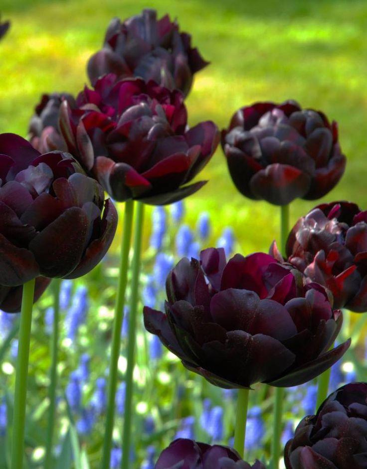фото с тюльпанами блэк хироу преобладающим