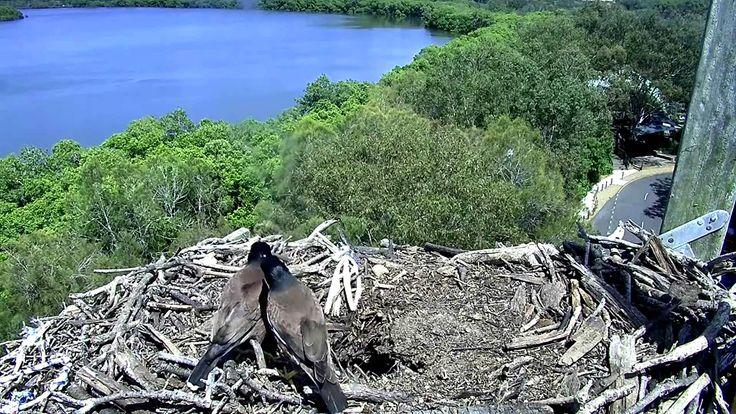 2015 10 26 mynahs nest after osprey lands in hole