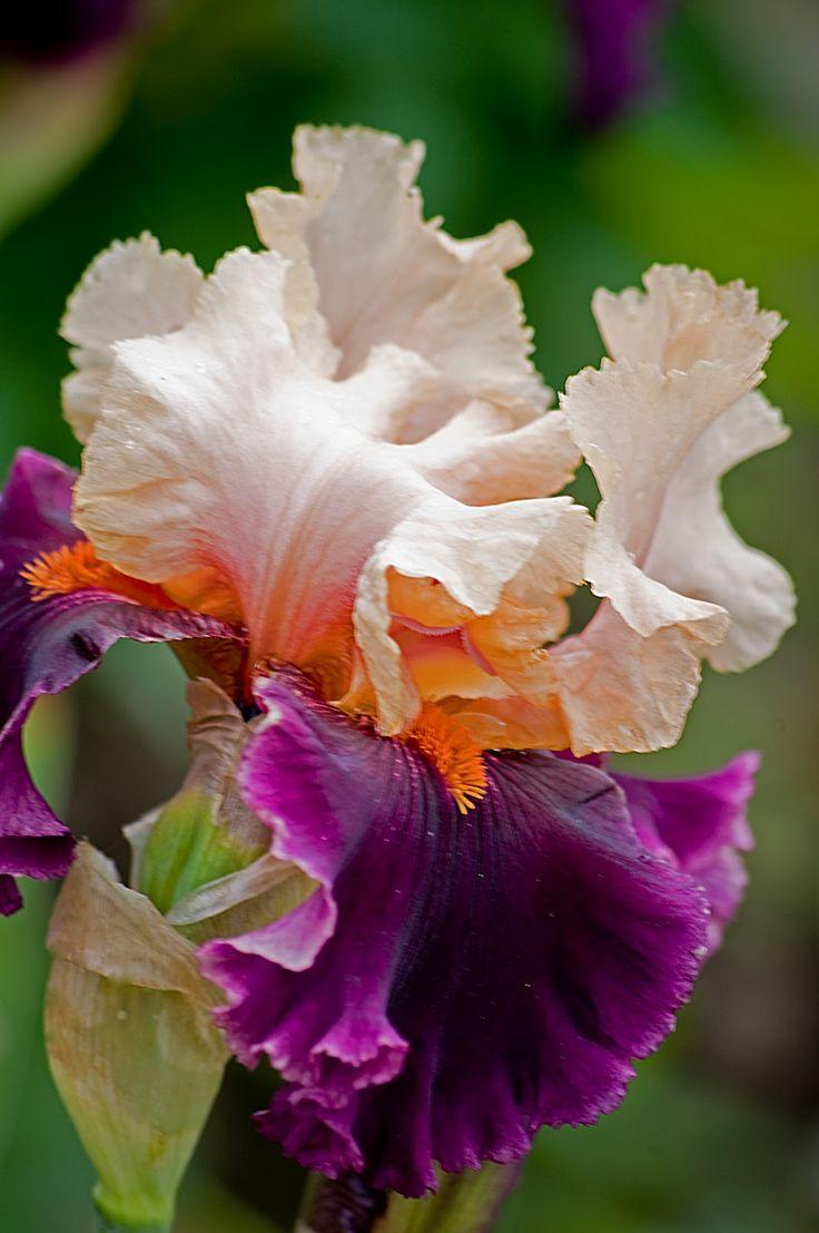 164 B Sta Id Erna Om Iris Flowers P Pinterest