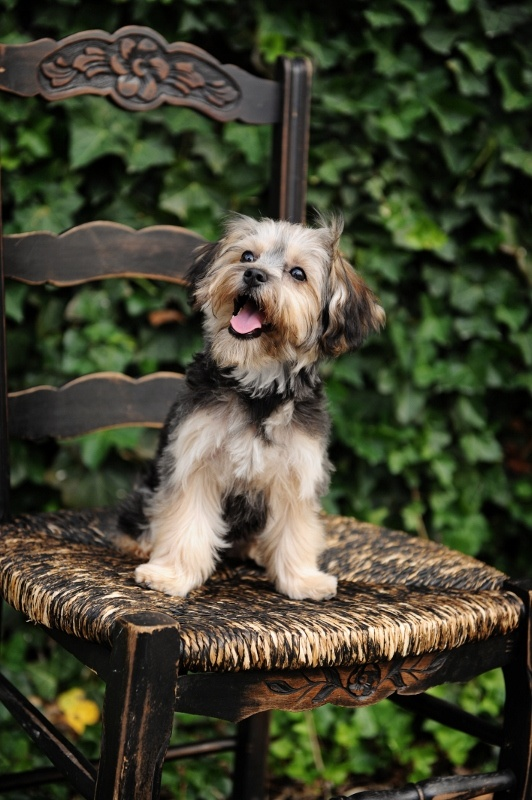 1000+ images about Yorkie-bichon! ️ on Pinterest | Puppys ...