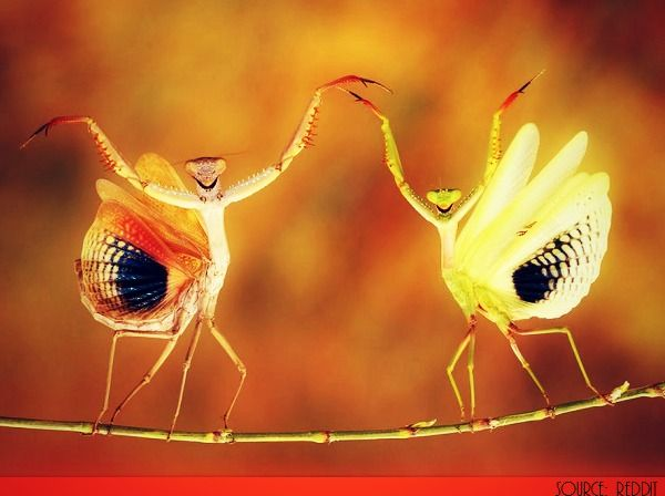 """To intimidate an enemy the Praying Mantis strikes a fascinating pose which makes itself appear larger and more menacing to any opponent ~ As if to say """"en gaurde"""" . . ."""